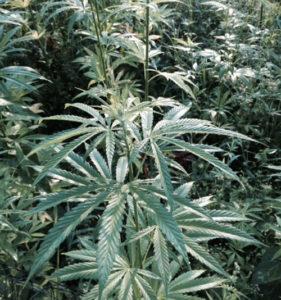 hempcrop